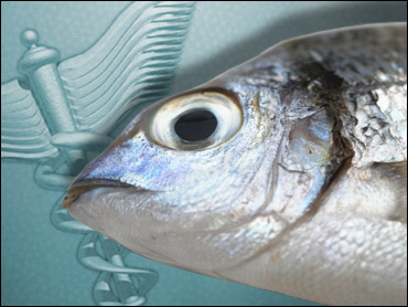 Mercury in fish widespread study shows cbs news for What fish has the most mercury