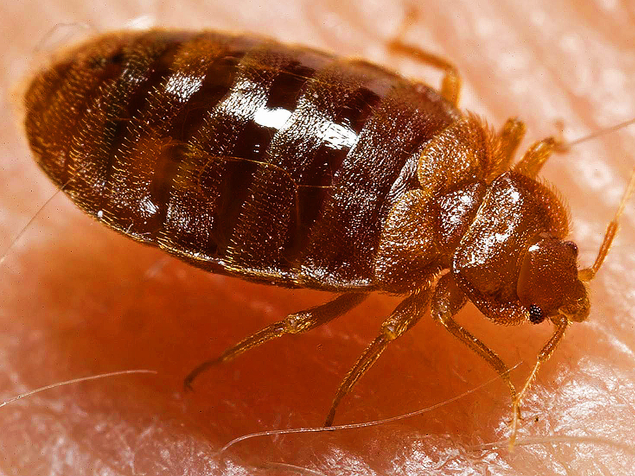 "foggers, ""bug bombs"" are no match for bedbugs, scientists say"