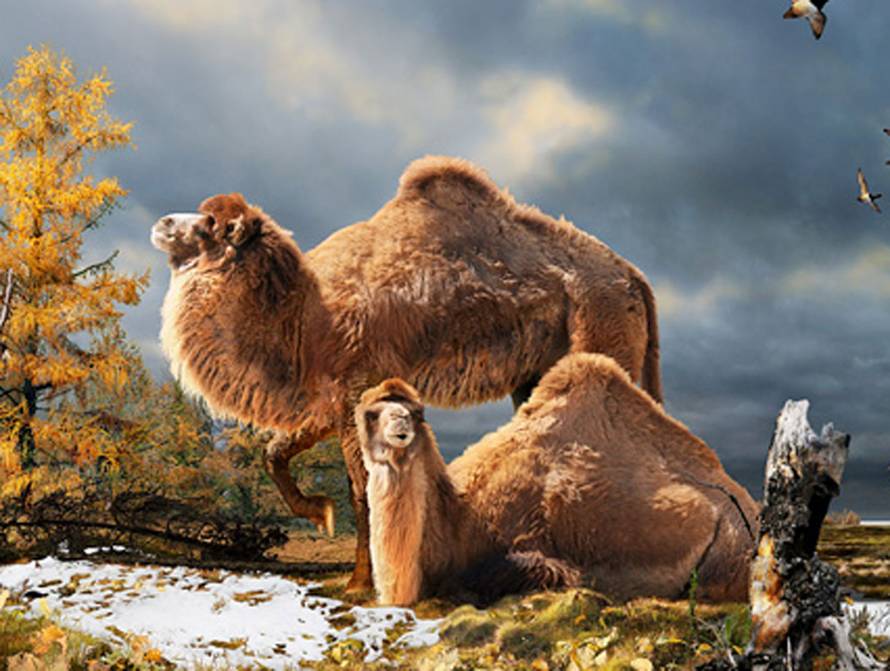 Ancient Artic Camel Fossils Link To Modern Desert Breed