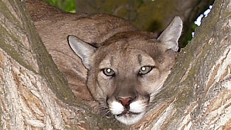 B Mobile Mountain Lion Mountain lion attacks ...