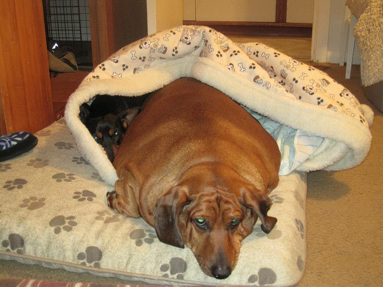 Formerly Obese Dachshund Obie Gets Surgery To Remove
