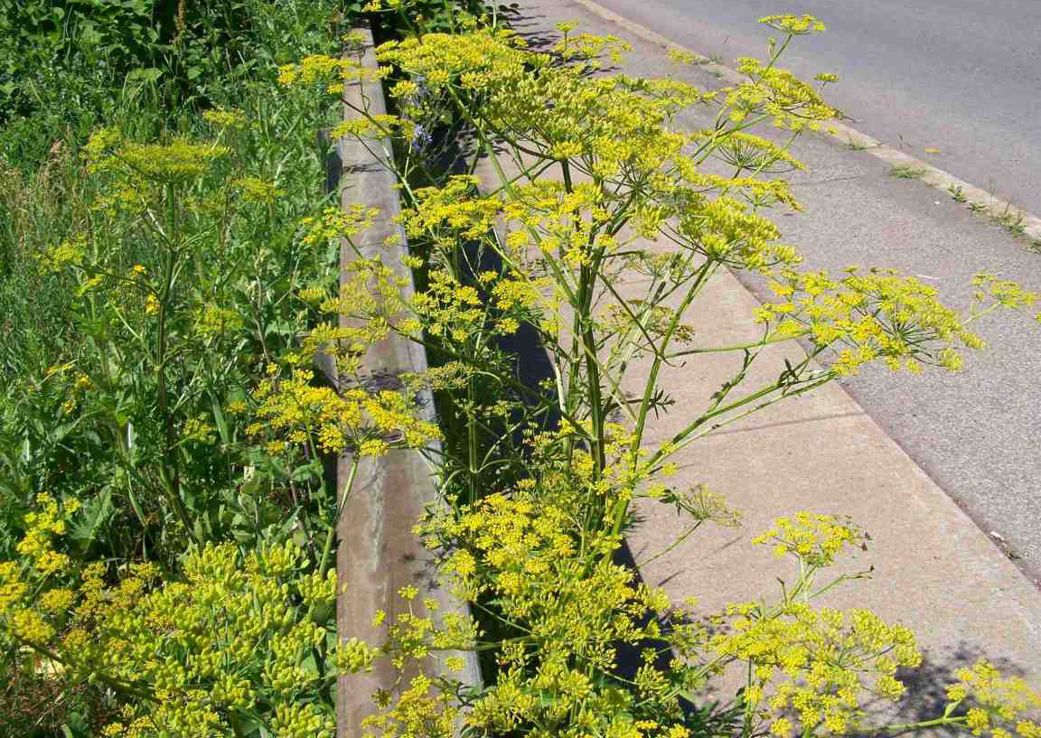 Poisonous Plants Like Wild Parsnip Could Spoil Your Summer