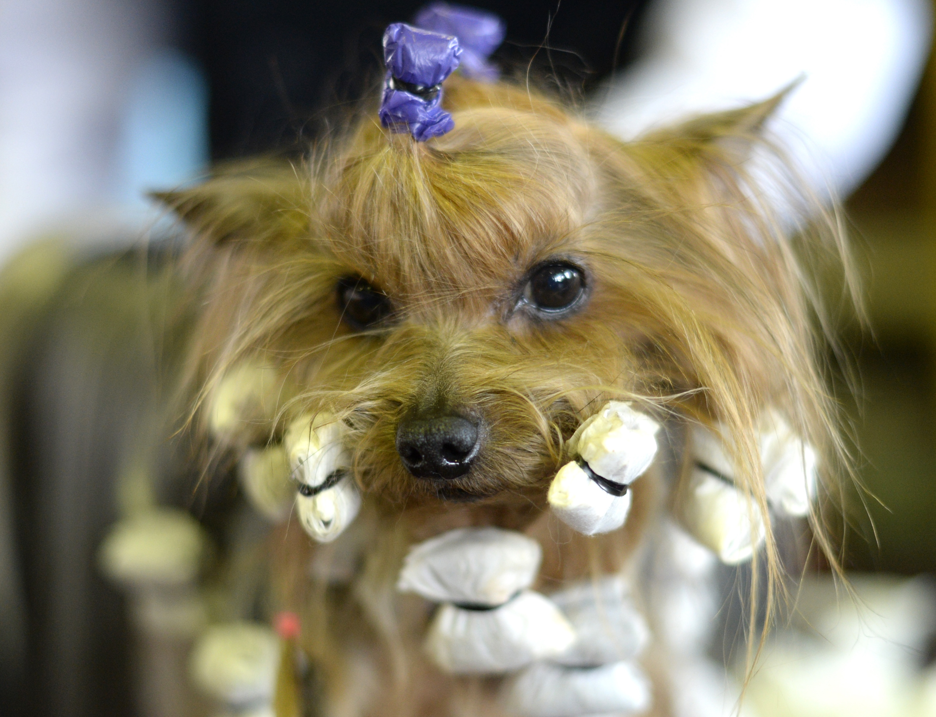 New York - Pooches prep for Westminster dog show ...