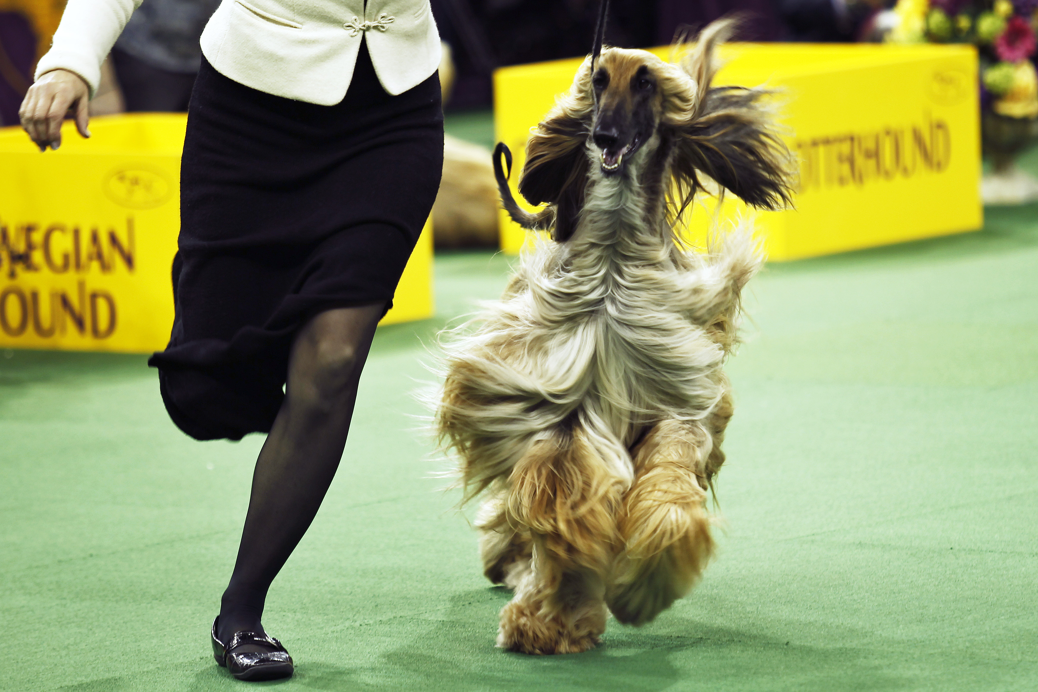 New York Parade Of Pooches At Westminster Dog Show 2014
