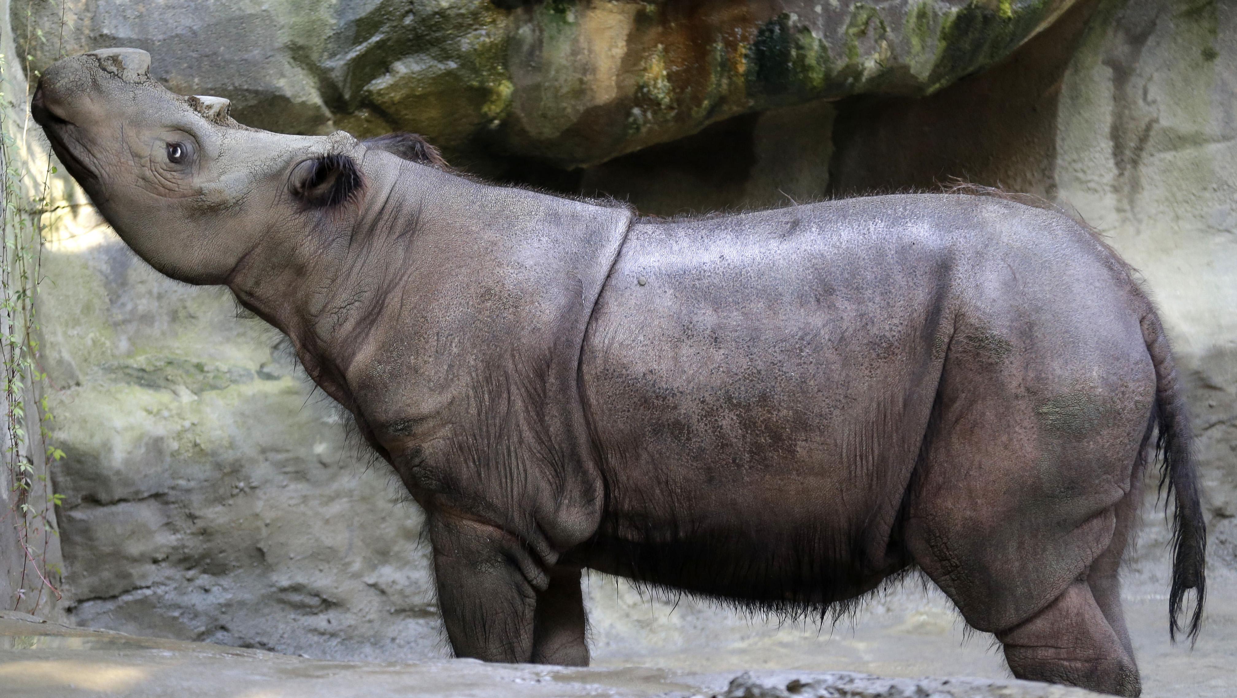 Extremely Rare Sumatran Rhino Dies At Cincinnati Zoo Cbs