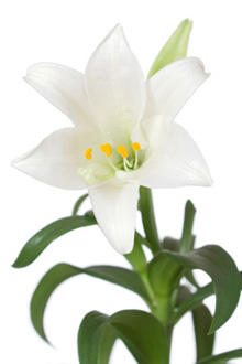 easter-lily-stock-small2.jpg