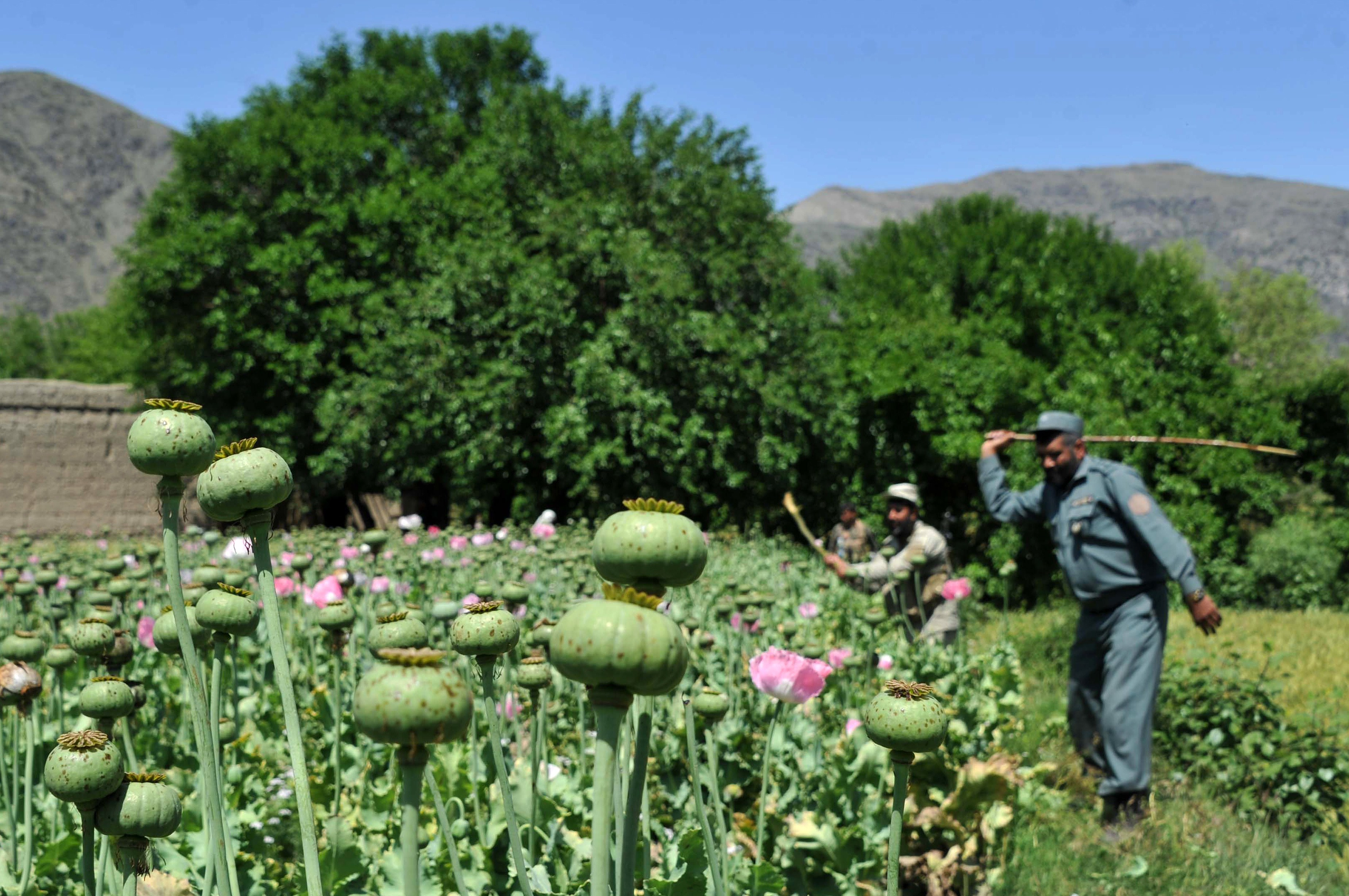 Afghanistan opium poppy cultivation up 7 percent, U.N ... Opium Drug Plant