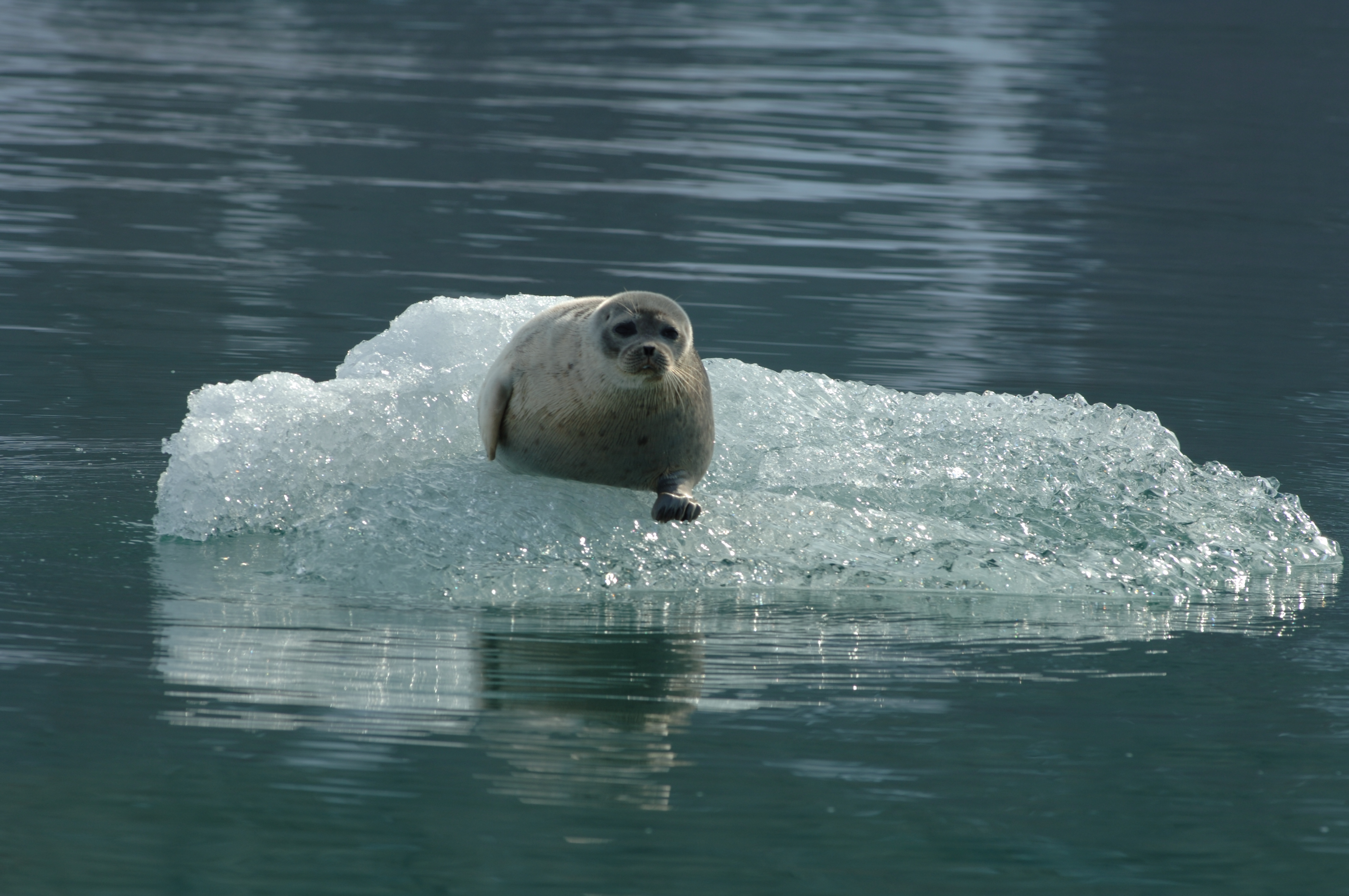 related pictures seal arctic - photo #9