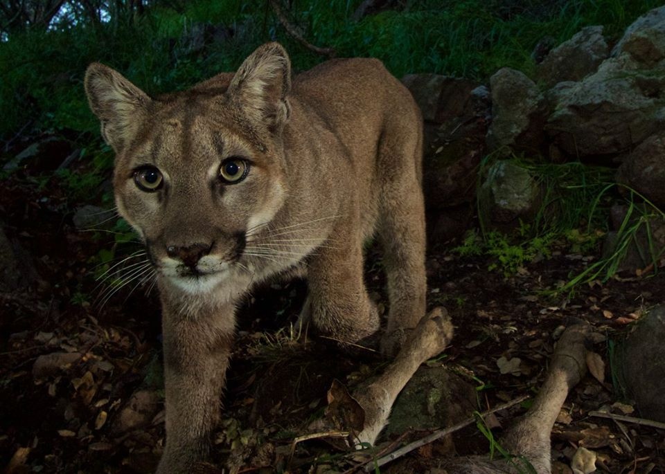 big cat supper mountain lion cubs caught on camera pictures cbs news. Black Bedroom Furniture Sets. Home Design Ideas