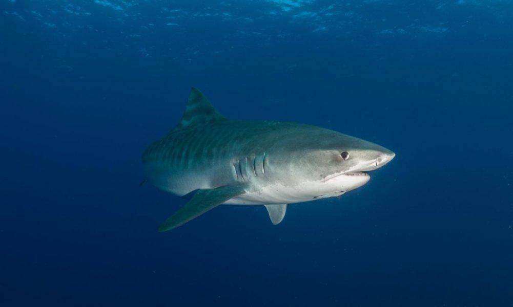 tiger shark 1280x800 - photo #20