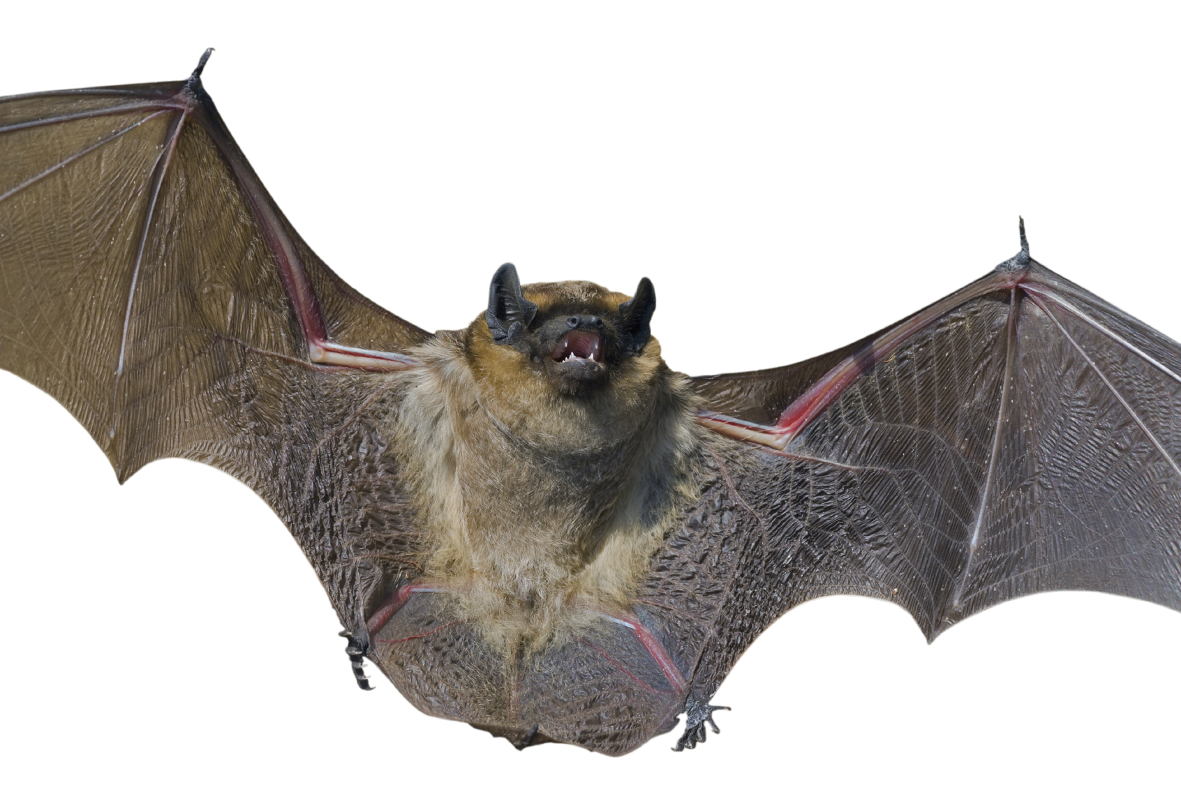 Bat Bus 12 >> 8 need rabies shots after child brings bat to school in ...