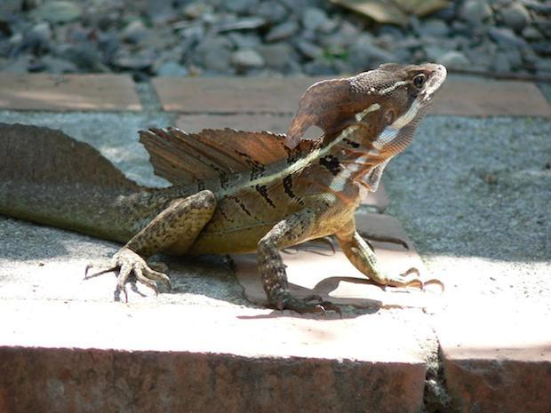 Ancient Jesus lizard walked on water in once-tropical ...