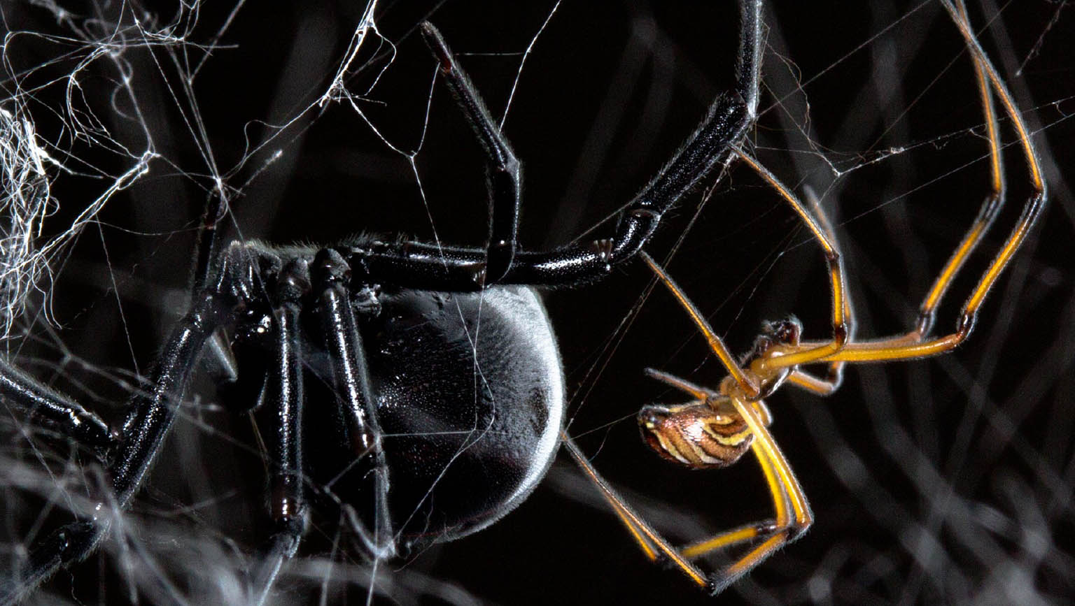 the importance of spider pheromones on the behavior of spiders Habitat and courtship behavior of the wolf spider schizocosa retrorsa (banks)  the importance of chemical  pheromones that may have been left by a fe-.