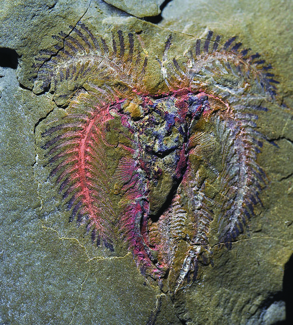 A marrellomorph arthropod found in the Fezouata biota that likely belongs to the genus Furca. / PETER VAN ROY
