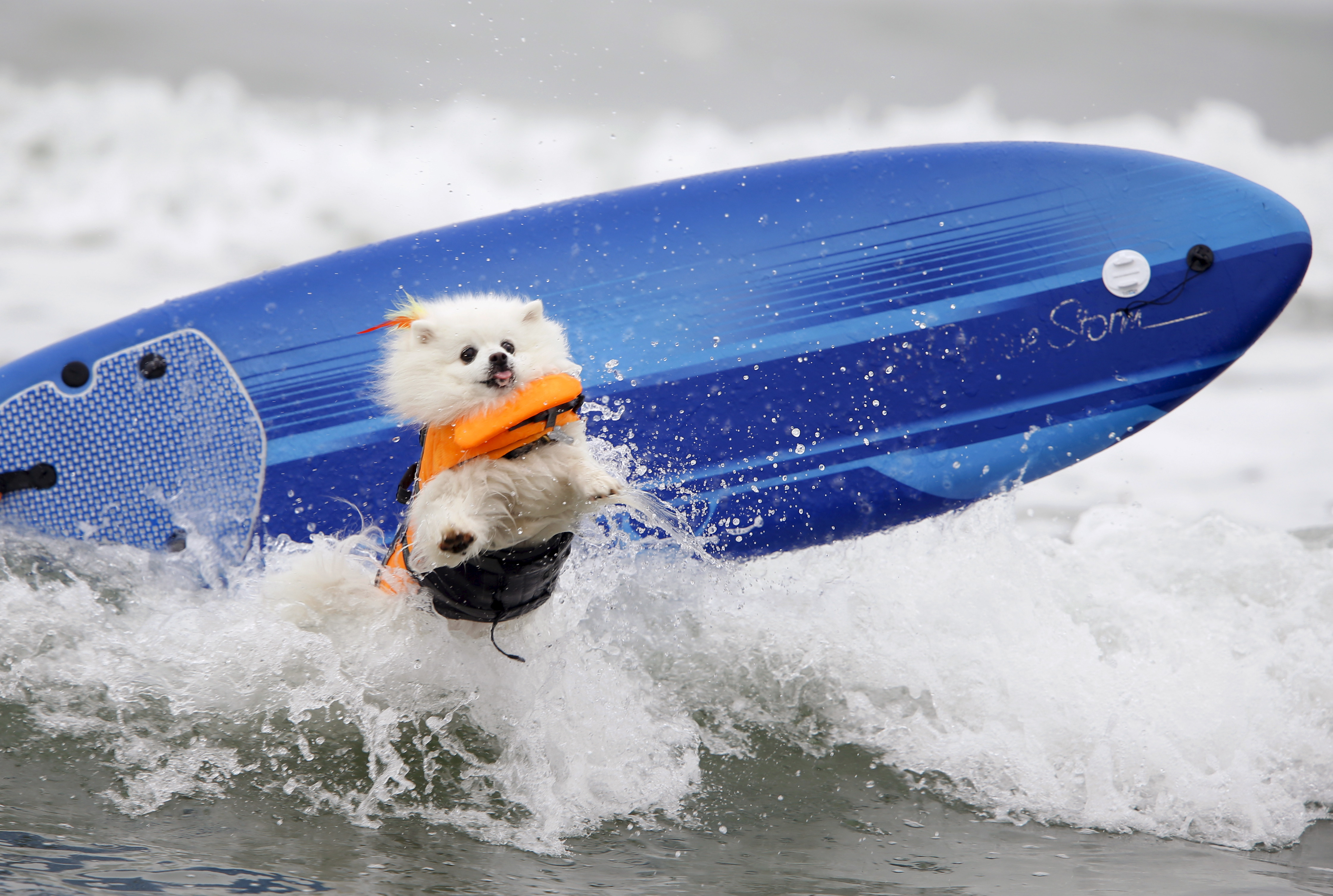 surfin usa riding the waves surfin dogs usa