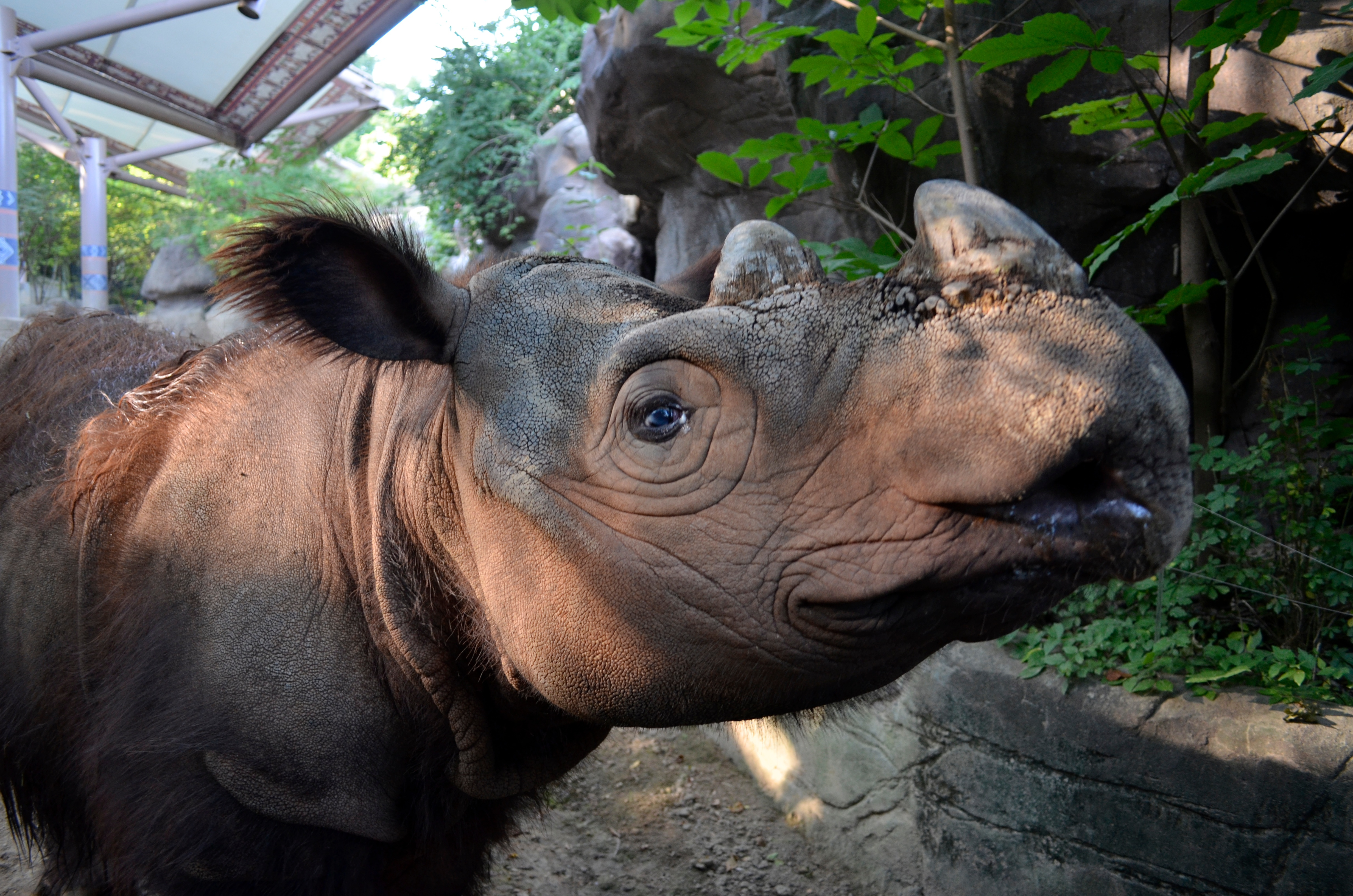 Cincinnati Zoo Says Goodbye To Hemisphere S Only Sumatran