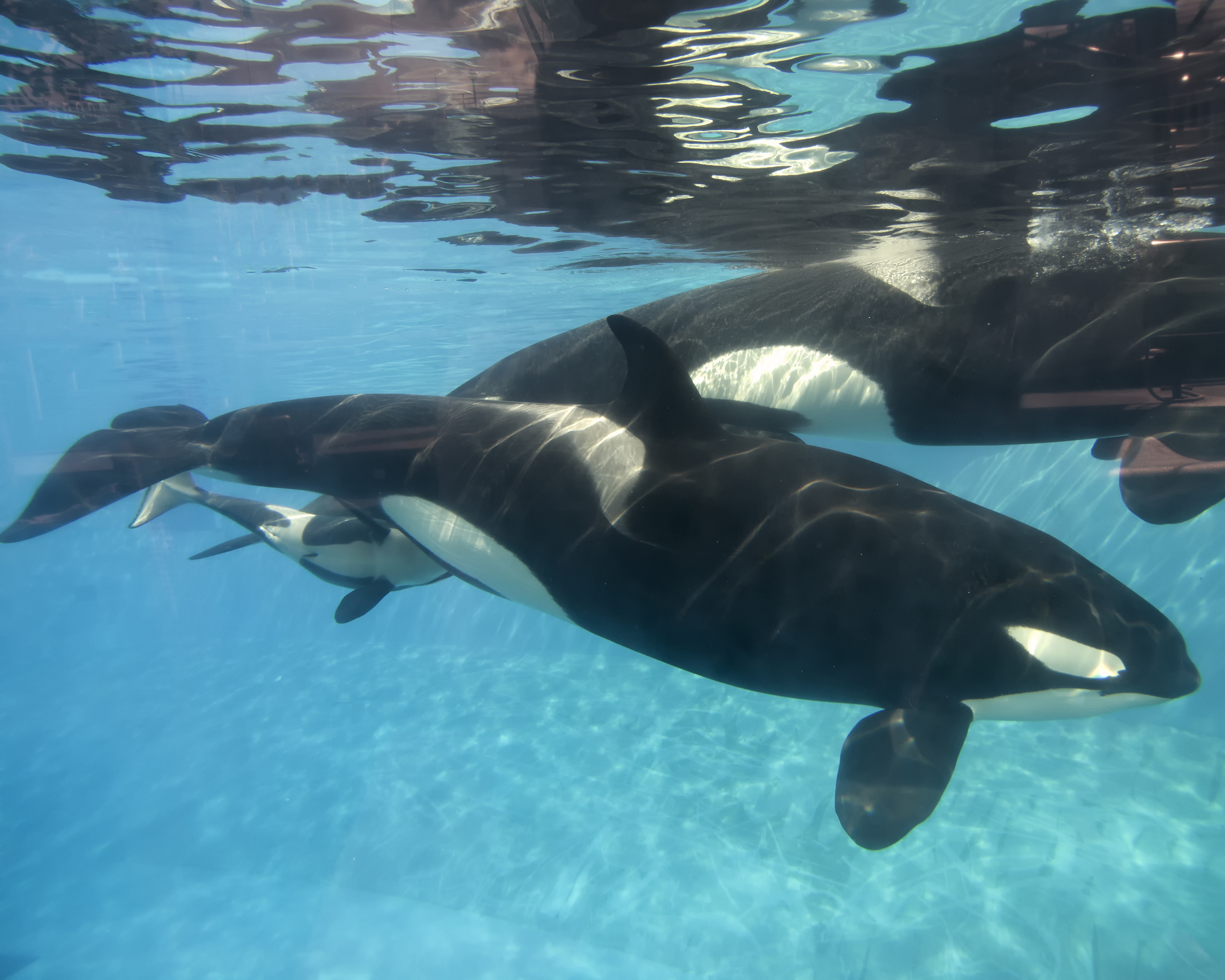 Seaworld Draws Curtain On Killer Whale Show In San Diego
