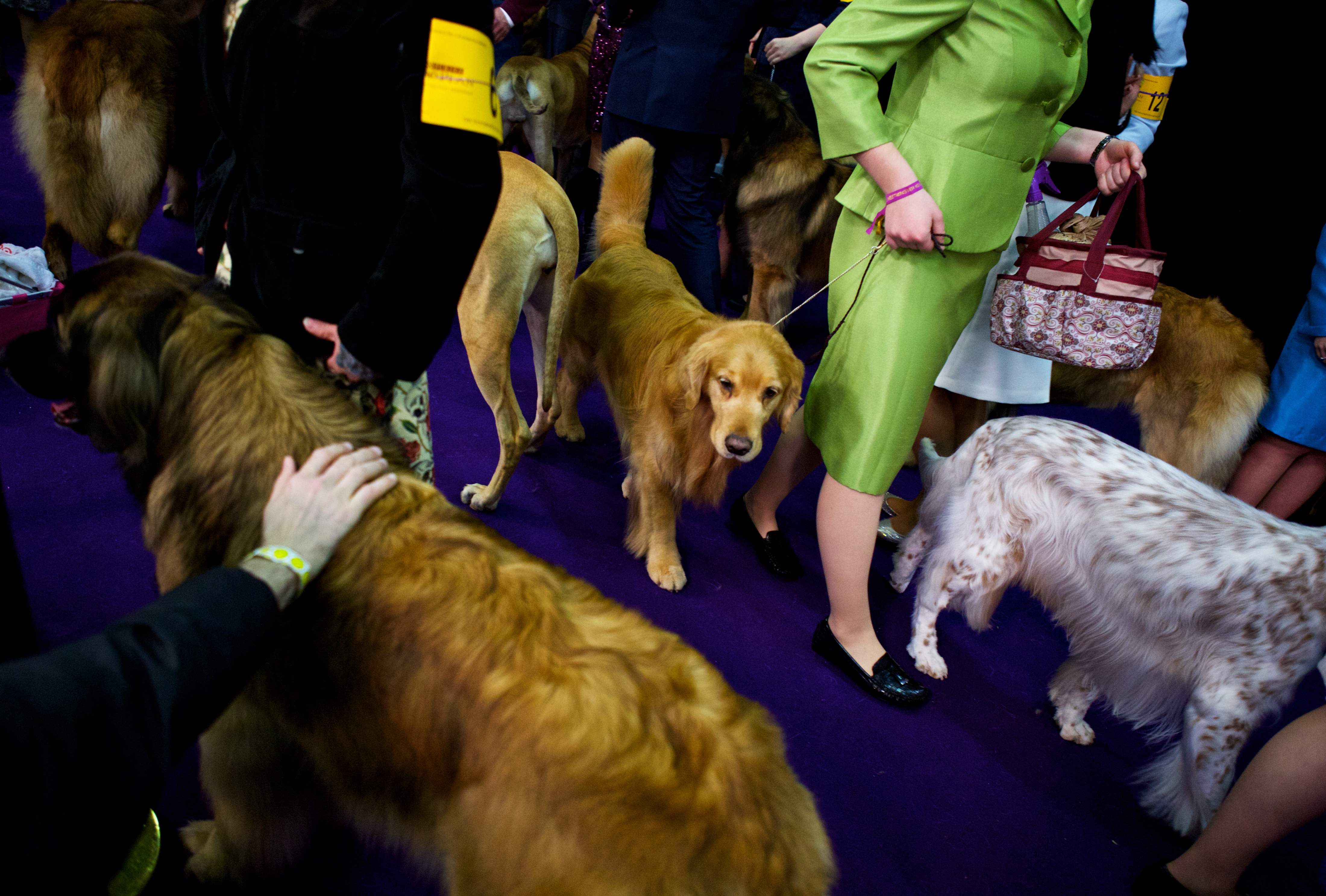 Westminster Dog Show New York Best Of Breed Yorkshire Terrier