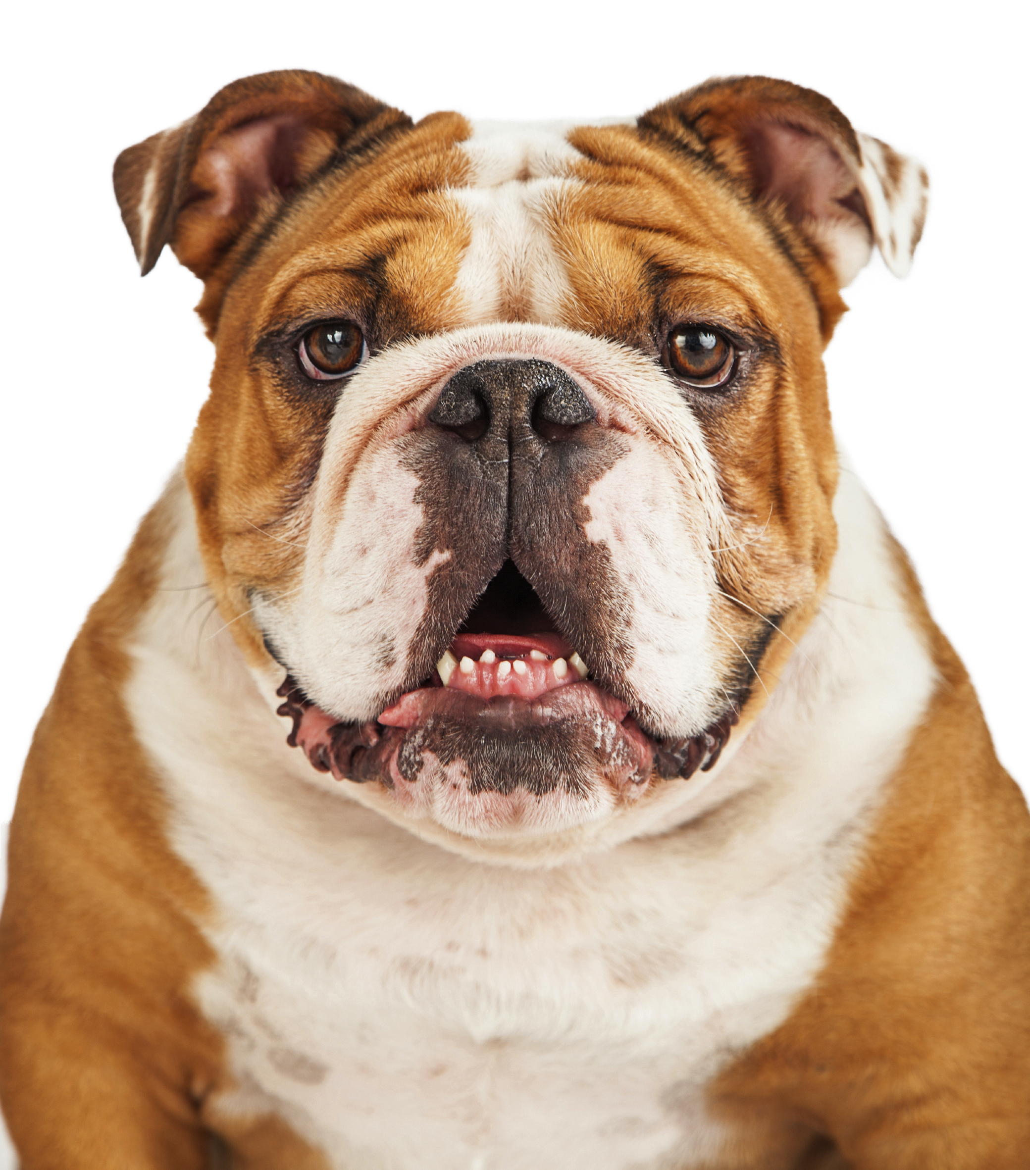 Top 10 dog breeds most popular dog breeds in the u s in for Best dog breed for you