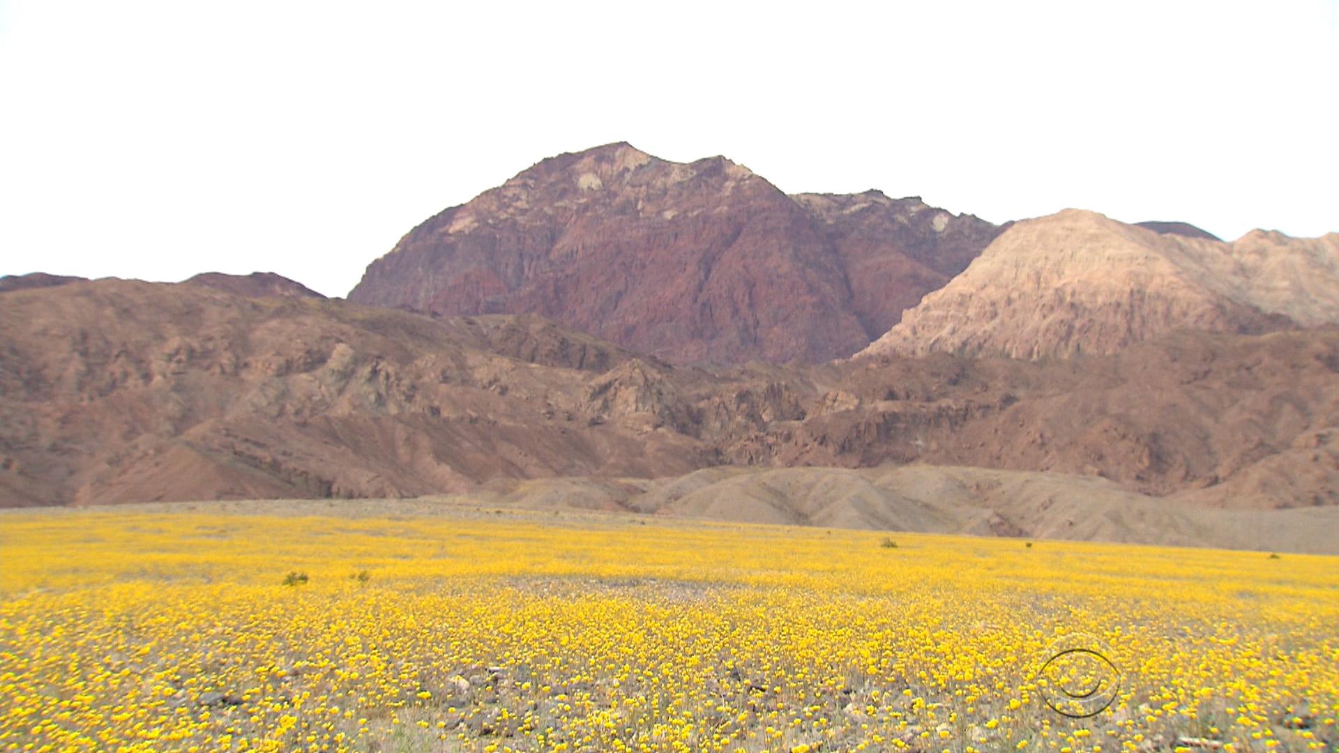 El Nino rains cause rare explosion of color in Death Valley CBS News