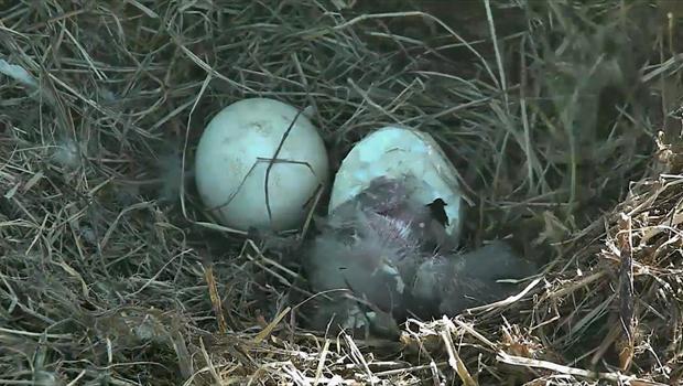 Eagle Egg Hatching Bald eagle egg hatches...