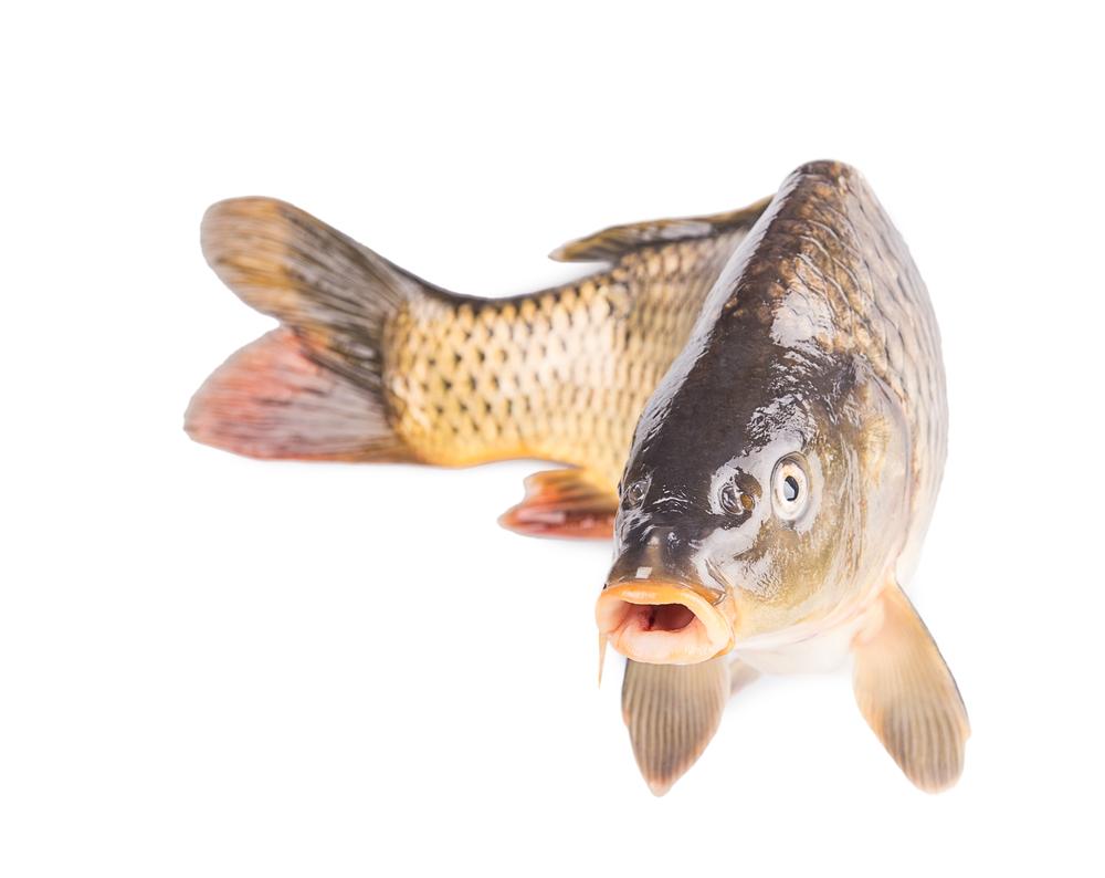 Australia 39 s surprise weapon against invasive fish herpes for Carp fish pictures