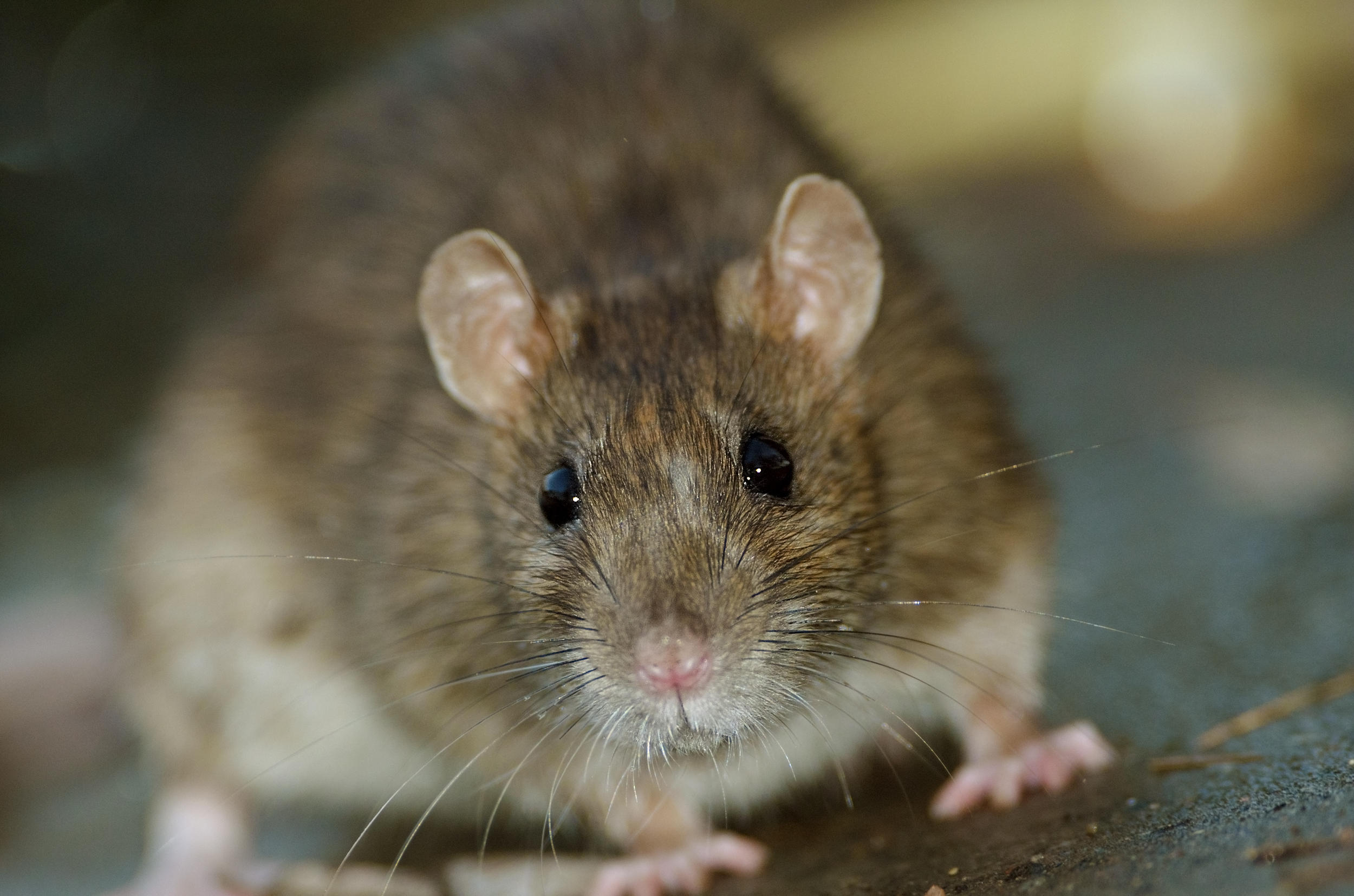 Rat-borne disease