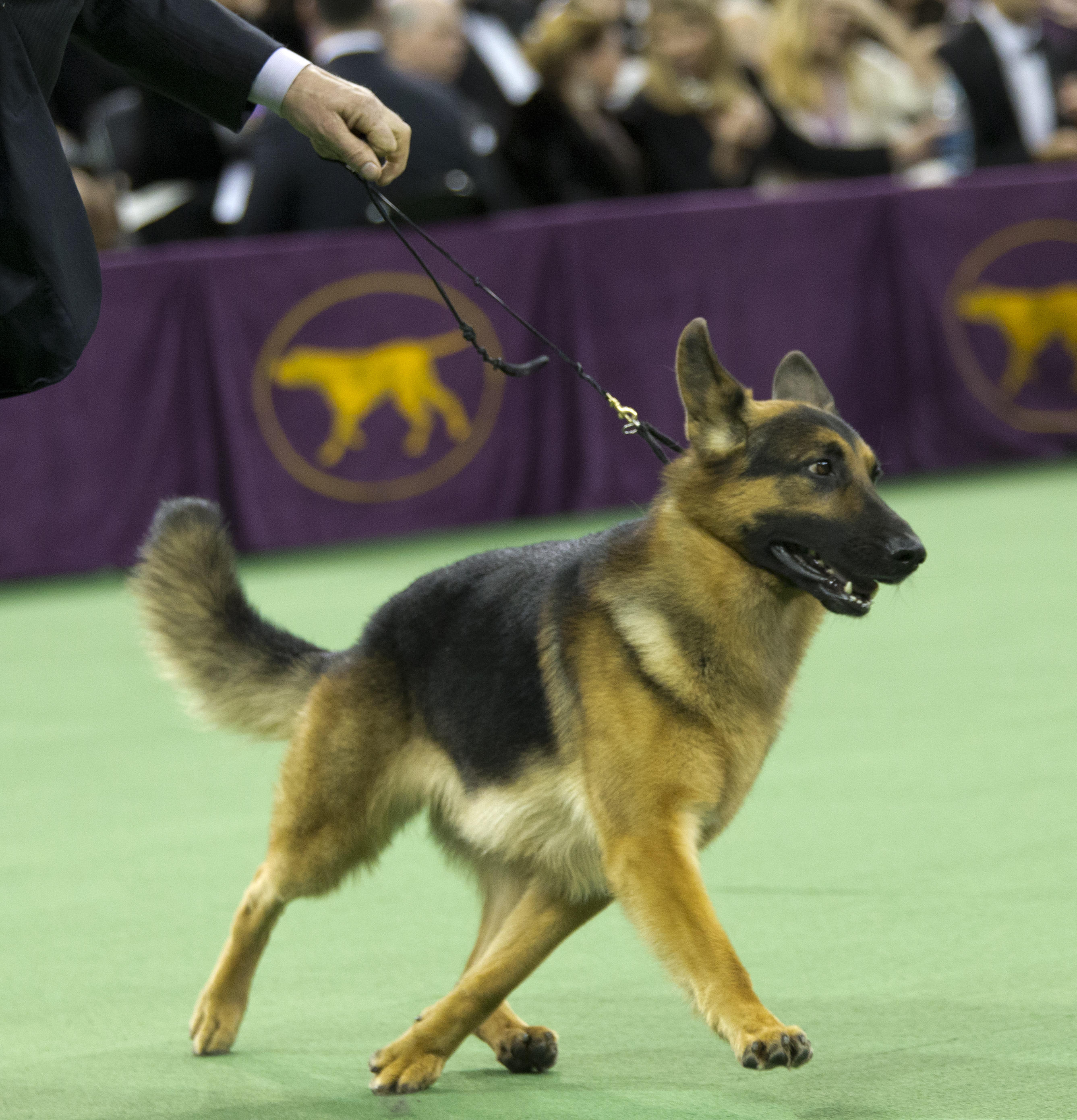 Best In Show Dogs At Westminster