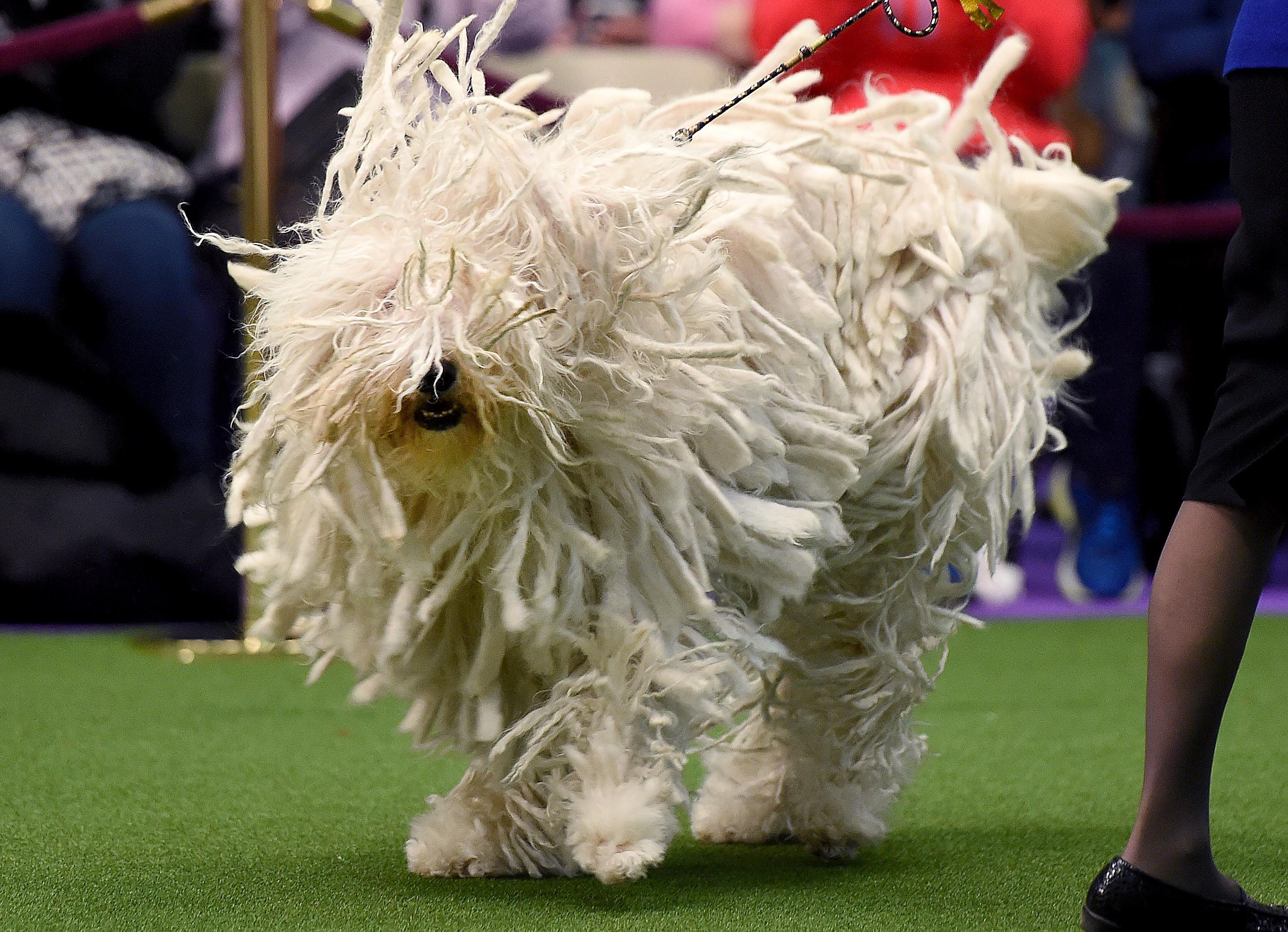 Where Is The Westminster Dog Show
