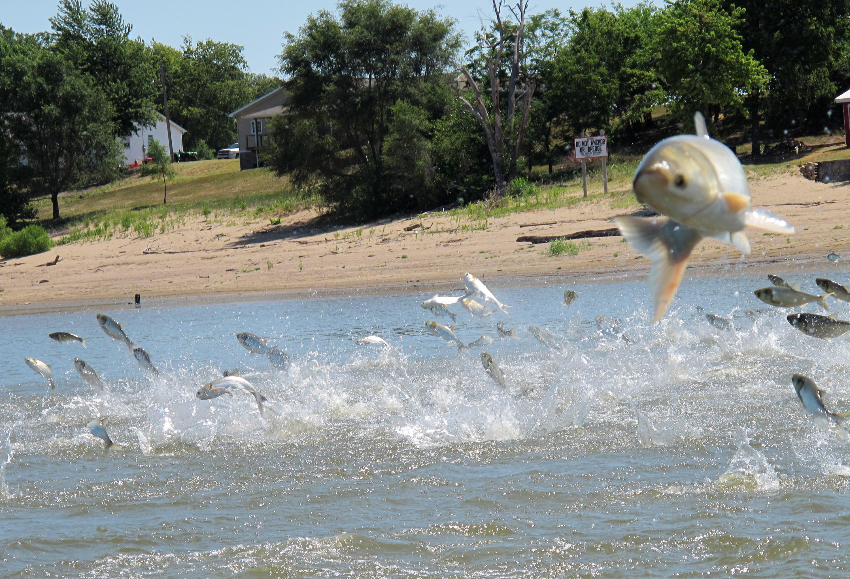 Michigan asks for public's help in battle against invasive Asian carp