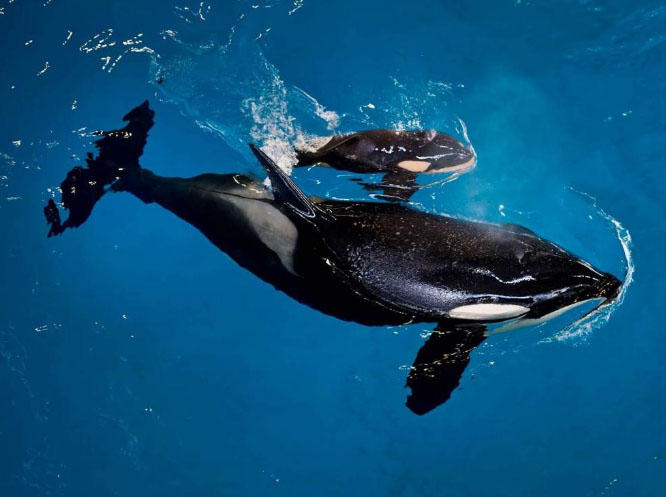 Last baby orca born in captivity at SeaWorld park dies, company says