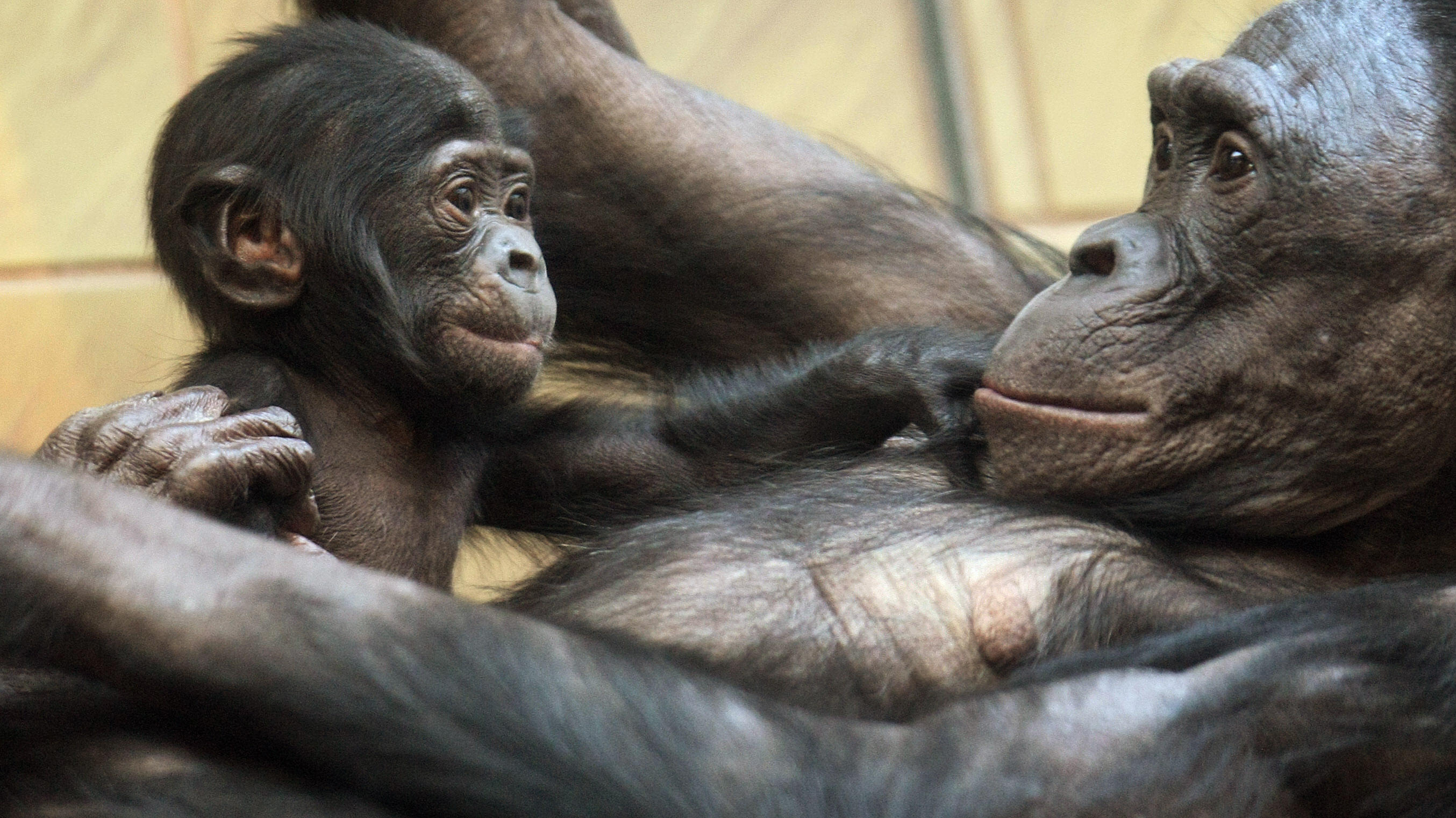 Savage-Rumbaugh's work with bonobo apes, which can understand spoken language and learn tasks by watching, forces the audience to rethink how much of what a species can do is determined by biology -- and how much by cultural exposure.