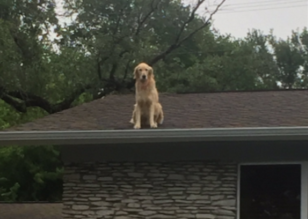 Huckleberry The Roof Jumping Golden Retriever Goes Viral
