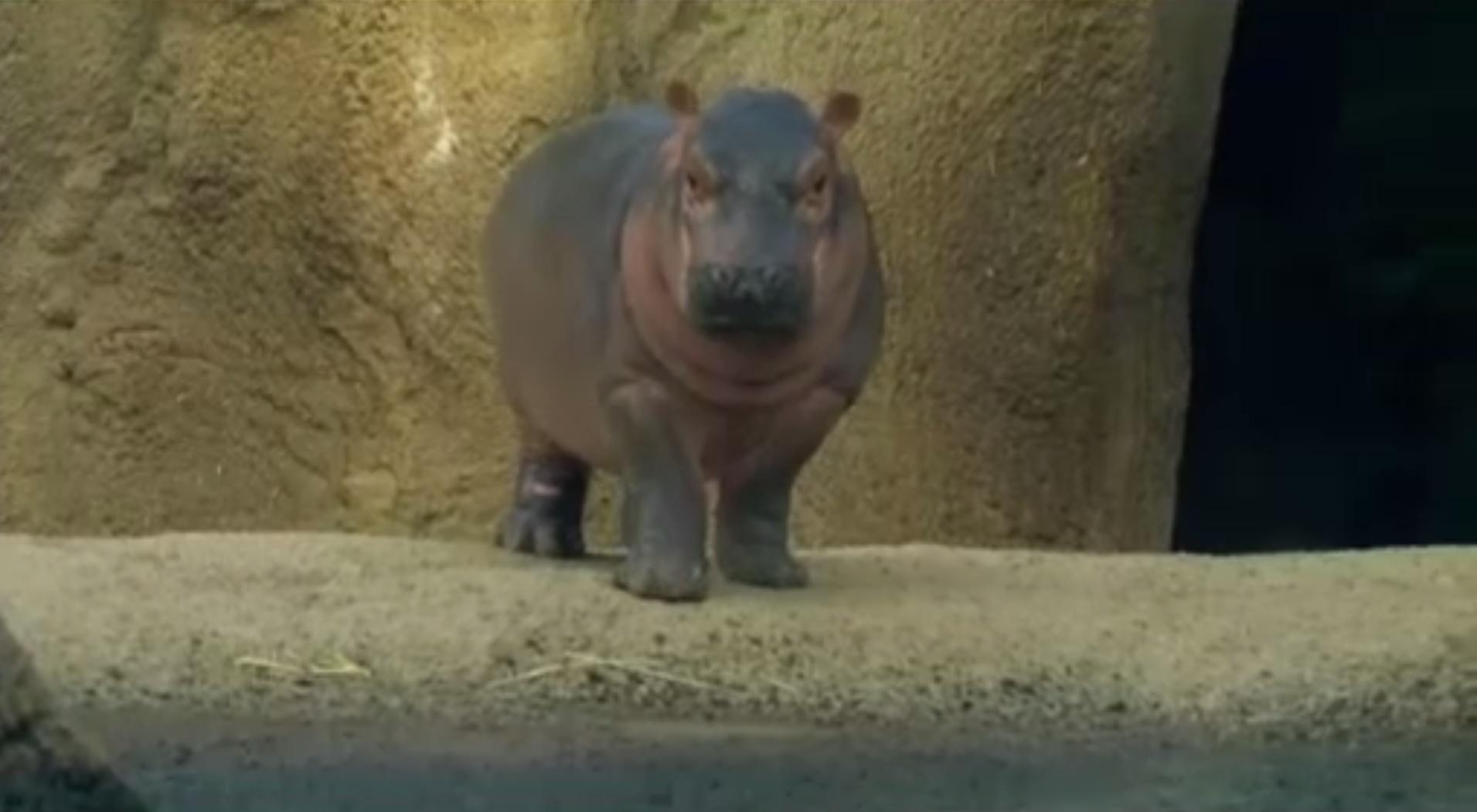 Baby Hippo Fiona Explores Her Exhibit For First Time At