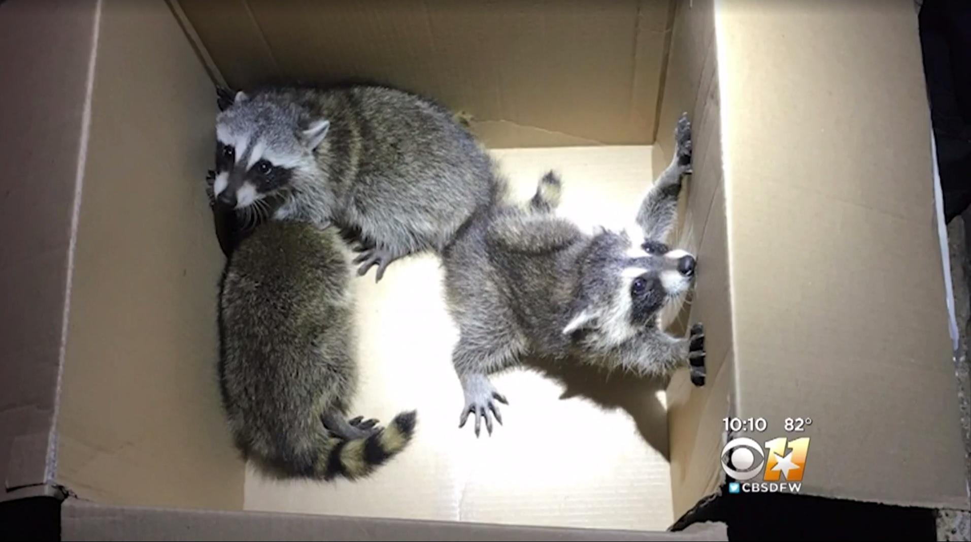 raccoons crash through roof in texas family says cbs news