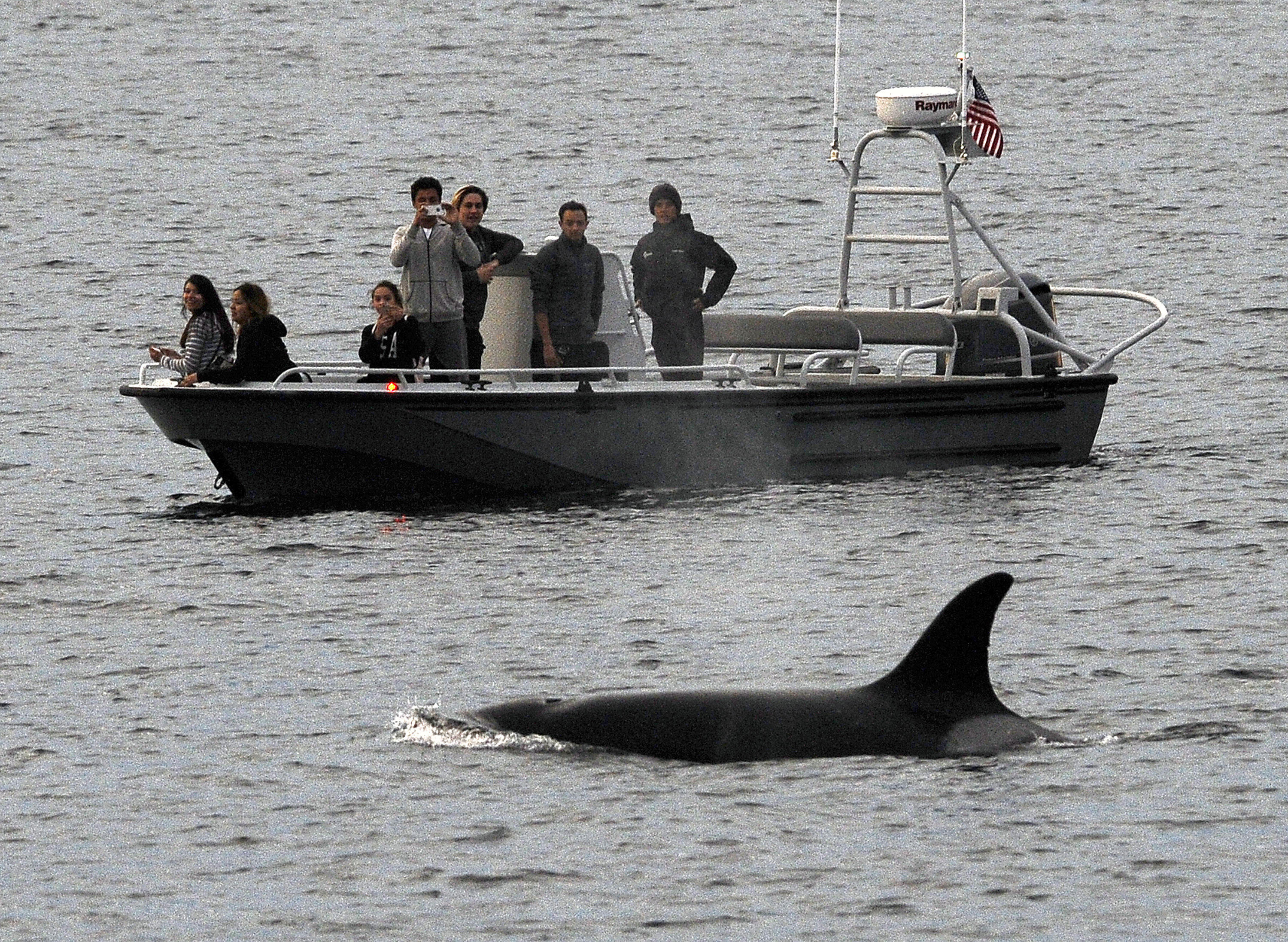 endangered whales Savannah, ga (ap) — the winter calving season for critically endangered right whales is ending without a single newborn being spotted off the southeast us coast.