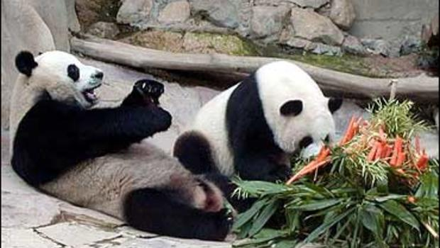 porn panda Conservationists in China are celebrating after a shy pair  of pandas successfully mated while watching another duo on.