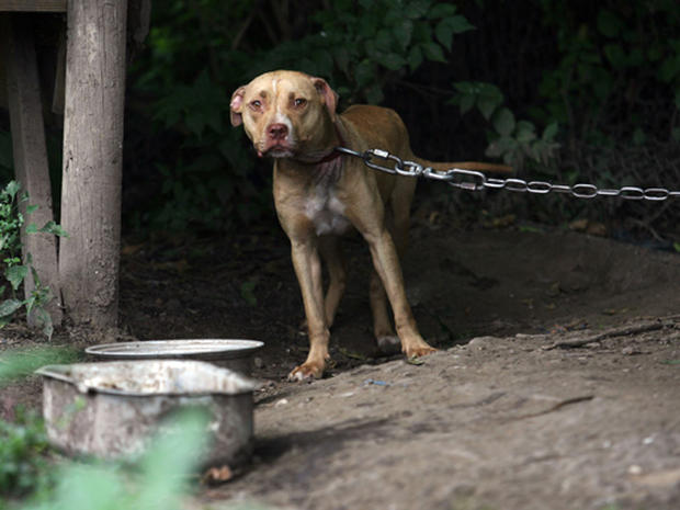 Inside Dog-Fighting's Brutal World