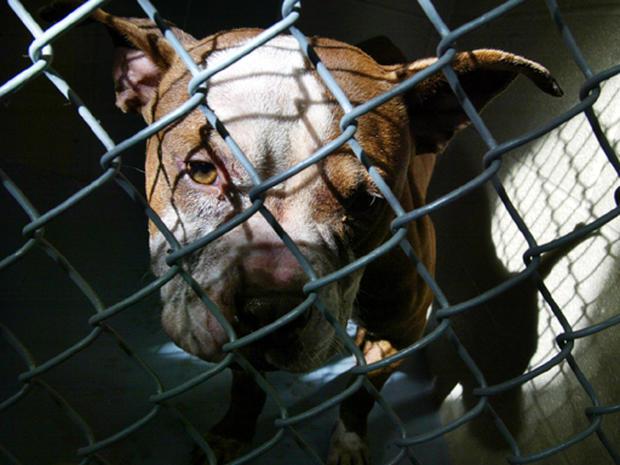 Inside Dog-Fighting's Brutal World
