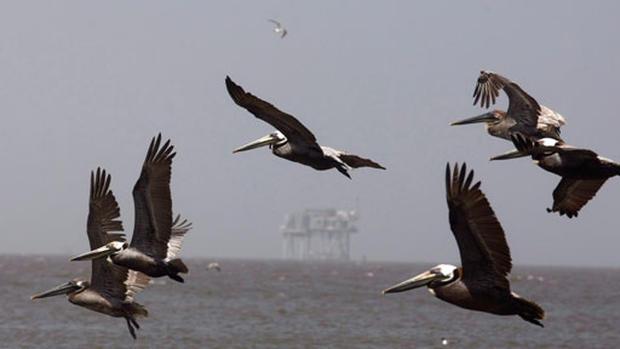 Gulf Oil Spill Threatens Wildlife