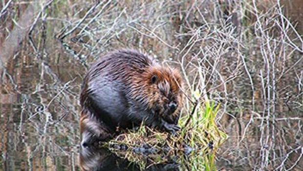 Giant Beaver Dam Unearthed Cbs News