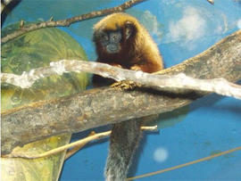 18 Titi Monkeys Lead to Airport Arrest of Alleged Monkey Smuggler