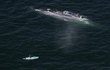 Rare Blue Whales Seen Off Calif. Shore