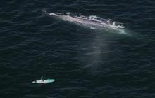 Rare Blue Whales Seen Off Calif. Shore