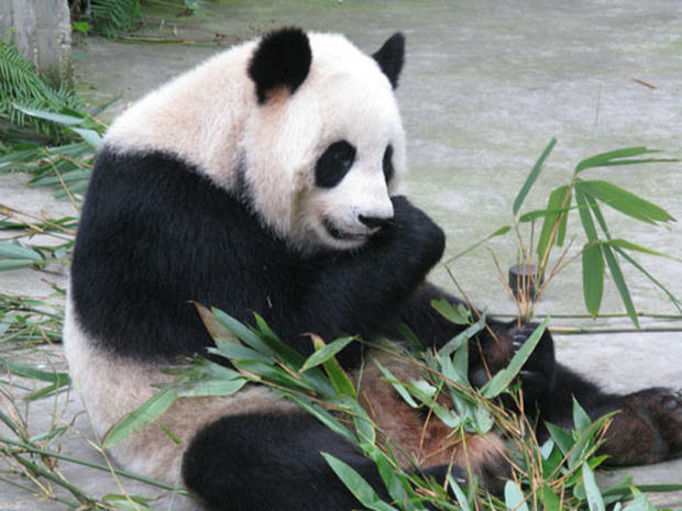 Inside a Panda Sanctuary