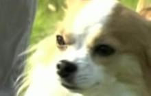 Japan Hires a Chihuahua Police Dog