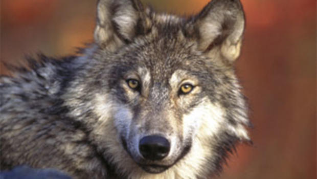 Court rules Wyoming wolves be taken off Endangered Species List