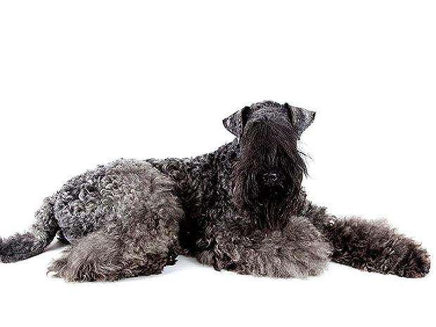 Kerry Blue Terrier - G...