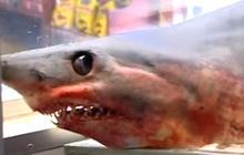 Massive shark jumps onboard fishing boat