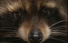 Raccoon leads rescuers on wild chase